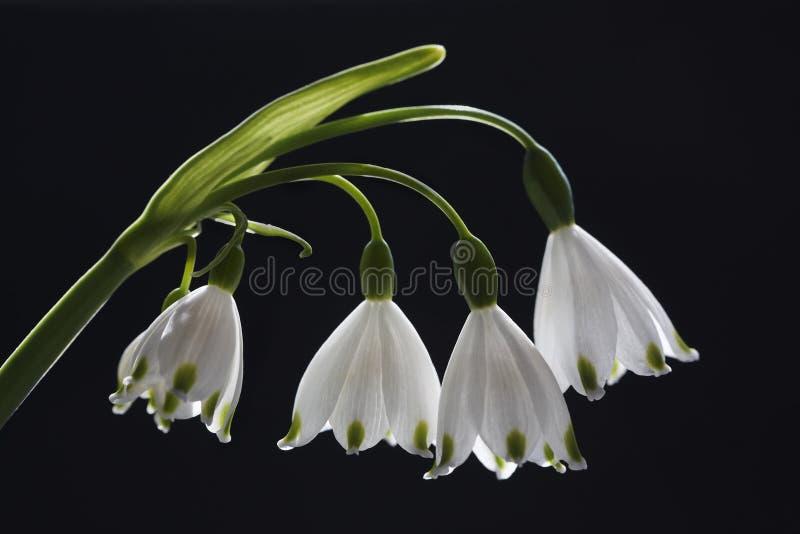 Fiocco di neve della primavera immagini stock