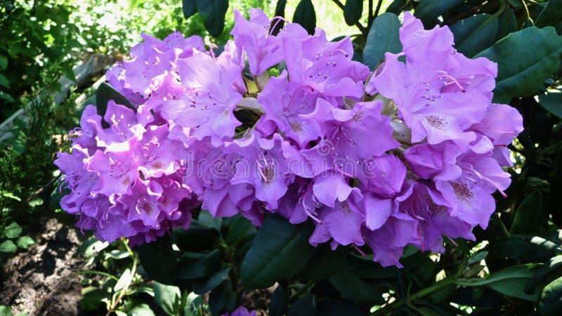 fioletowe kwiaty obrazy royalty free