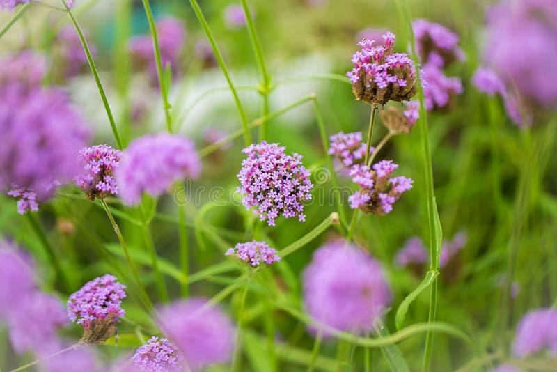 fioletowe kwiaty Limonium kwiaty także znają jako lawenda, zdjęcie royalty free