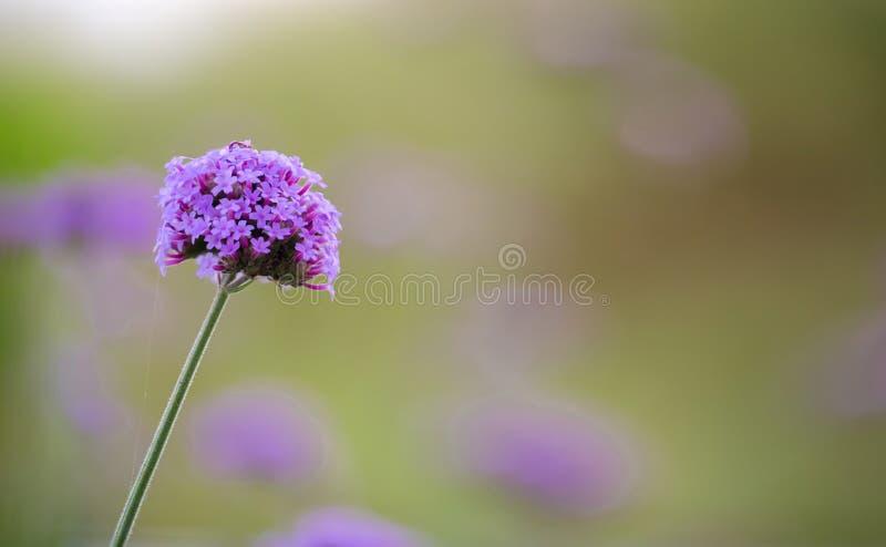fioletowe kwiaty Limonium kwiaty także znają jako lawenda, statice, caspia lub rozmaryny, obrazy stock