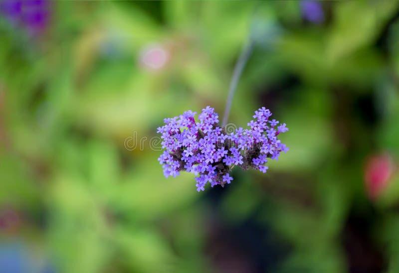 fioletowe kwiaty Limonium kwiaty także znają jako lawenda, statice, caspia lub rozmaryny, fotografia stock