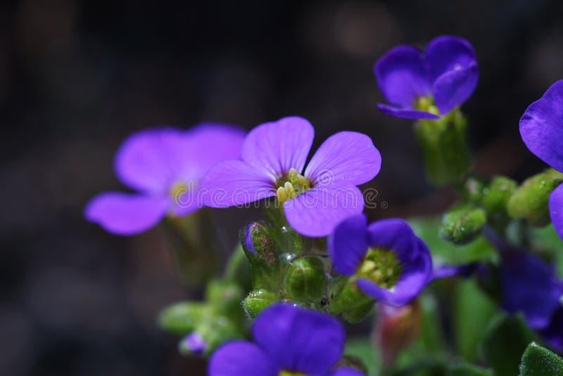 fioletowy kwiat obrazy royalty free