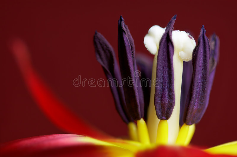 fioletowy stamen obrazy stock
