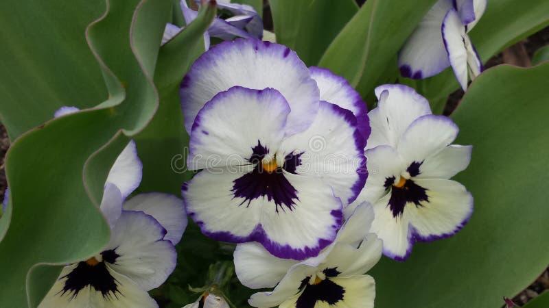 fioletowy white zdjęcia royalty free