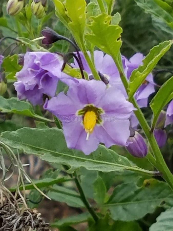 fioletowy wildflower obraz royalty free