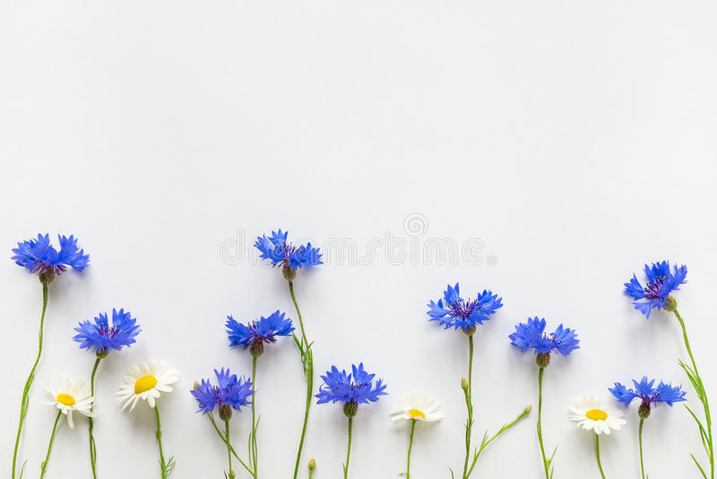 Fiordalisi di estate e fiori blu della margherita su fondo bianco fotografie stock libere da diritti