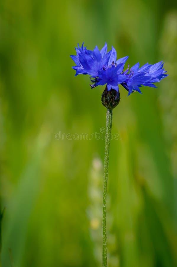 Fiordaliso blu del fiore immagini stock