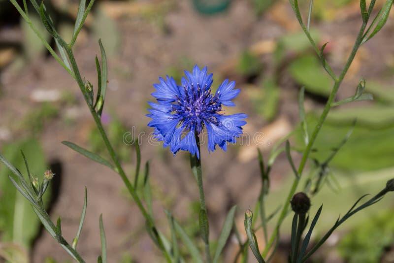 Fiordaliso blu nel giardino immagini stock libere da diritti