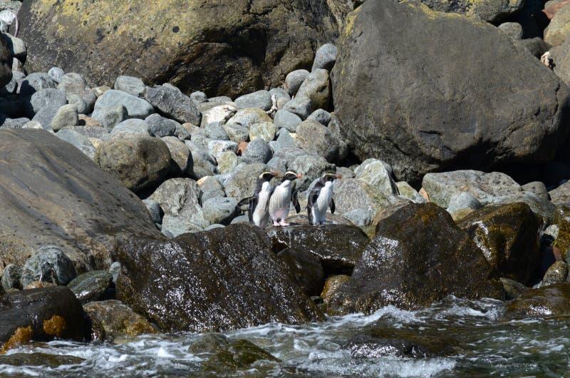 Fiordland krönade pingvin i Nya Zeeland royaltyfri fotografi