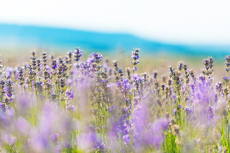 Download Fiore immagine stock. Immagine di lillà, campagna, springtime - 117978781