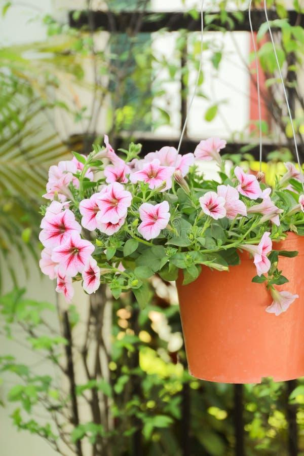 Fiore alto chiuso della petunia, fiore rosa della petunia immagine stock libera da diritti