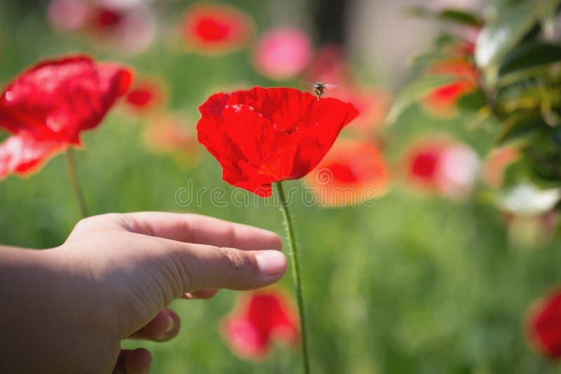 Fiore alto vicino del papavero in mano dell'adolescente fotografie stock libere da diritti