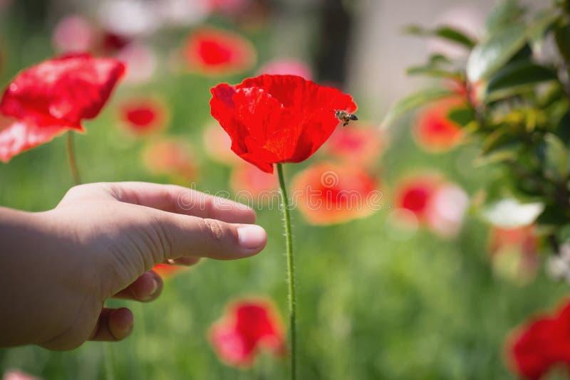 Fiore alto vicino del papavero in mano dell'adolescente fotografia stock