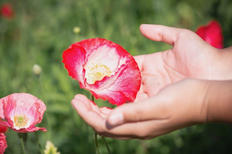 Fiore alto vicino del papavero in mano dell'adolescente immagini stock