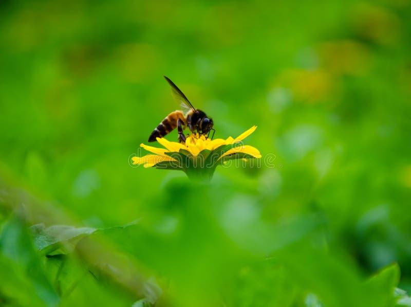 Fiore, ape del miele baciata fotografie stock