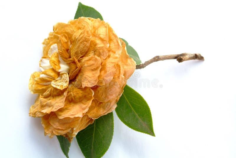 Fiore appassito fotografia stock