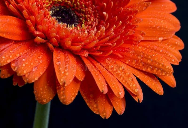 Fiore arancio con le gocce di acqua sui petali, macro vista della gerbera fotografie stock