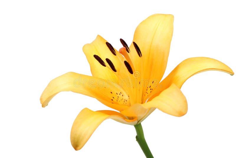 Fiore arancio del giglio isolato immagini stock libere da diritti