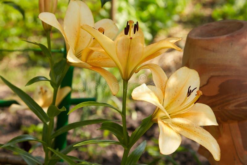 Fiore arancio del giglio nel giardino immagine stock