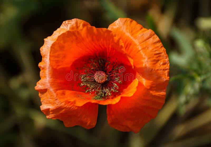 Fiore arancio del papavero in fioritura fotografia stock libera da diritti