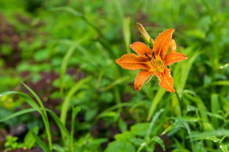 Fiore arancio dell'emerocallide in gocce di pioggia fotografie stock libere da diritti