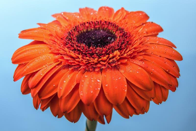 Fiore arancio della gerbera coperto dalle gocce di acqua fotografia stock libera da diritti