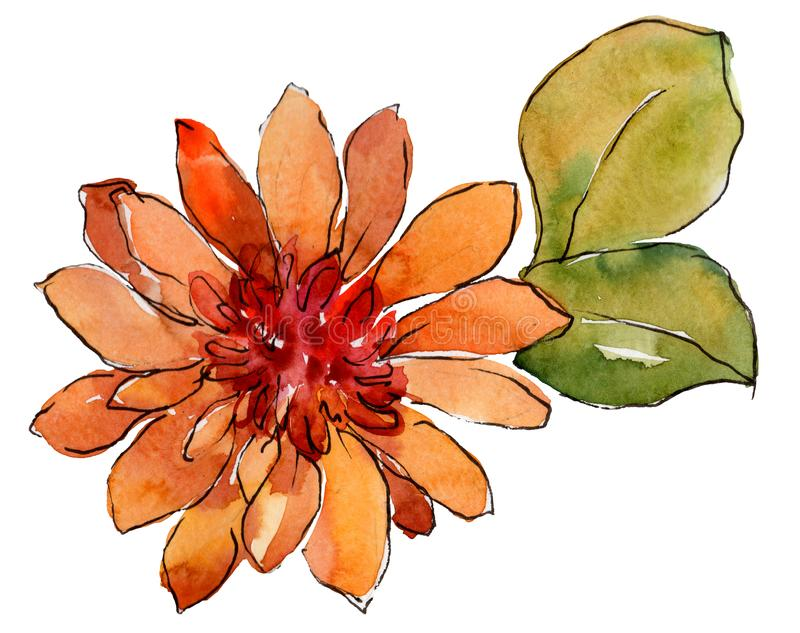 Fiore arancio della margherita africana dell'acquerello Fiore botanico floreale Elemento isolato dell'illustrazione illustrazione vettoriale