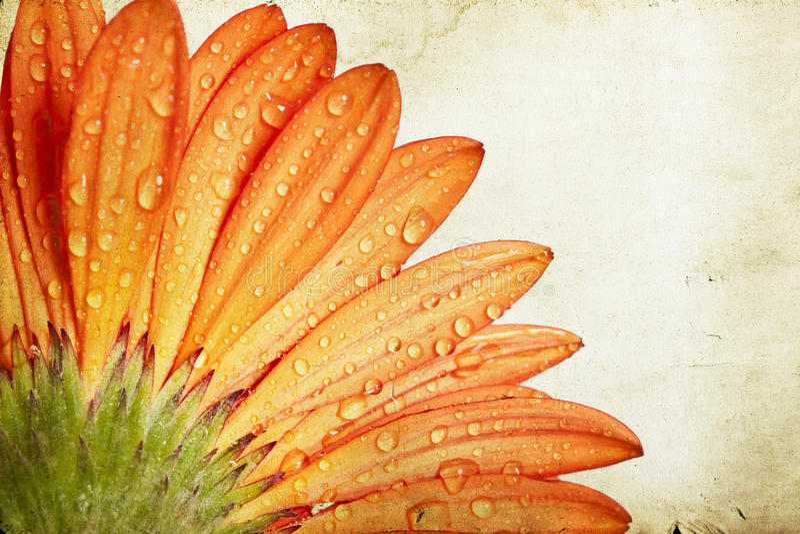 Fiore arancio della margherita della gerbera del primo piano fotografia stock