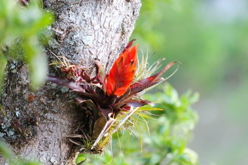 Fiore arancio di bromeliacea sull'albero nella giungla della foresta della nuvola fotografia stock
