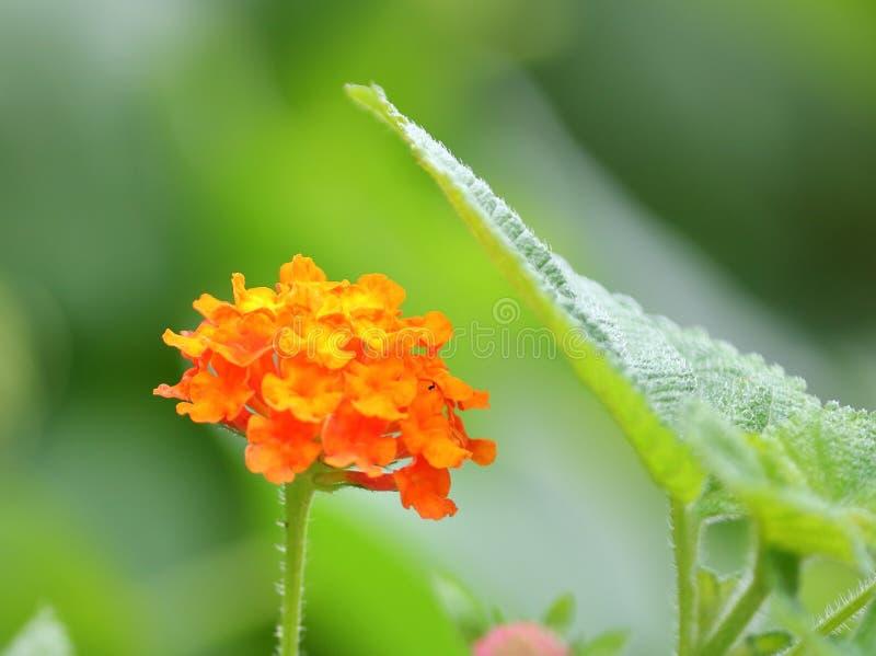 Fiore arancio e foglia verde fotografia stock