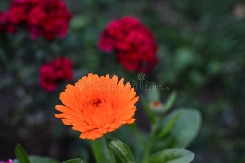 Fiore arancio piacevole su un fondo verde fotografia stock