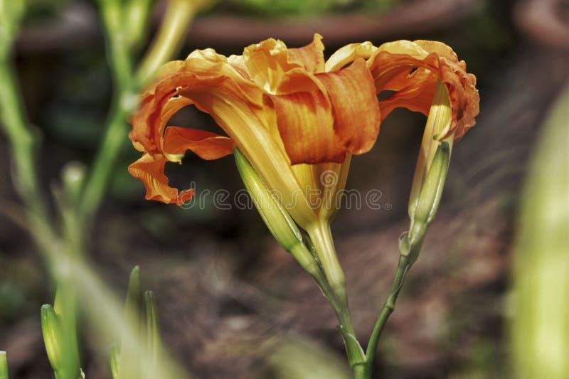 Fiore arancio sottolineato - 2 immagini stock