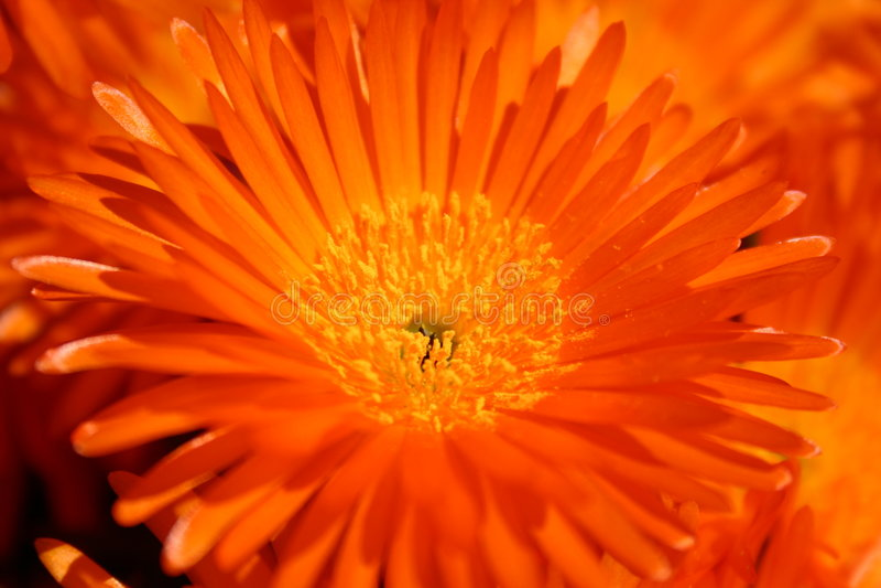 Fiore Arancione Fotografia Stock