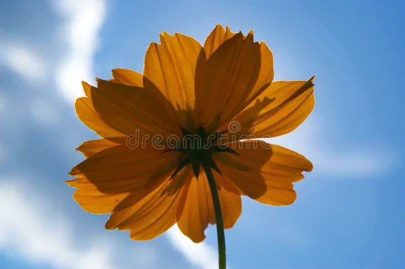 Download Fiore Arancione Contro Cielo Blu Immagine Stock - Immagine di fiore, arancione: 213033