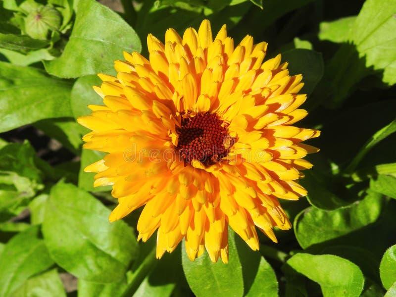 Fiore arancione del tagete in giardino immagini stock libere da diritti