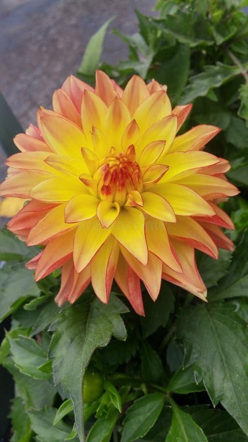 Fiore arancione della dalia immagini stock