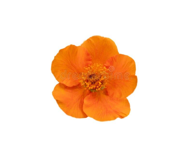 Fiore arancione isolato su priorit? bassa bianca fotografie stock