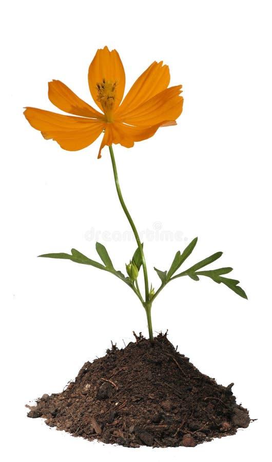 Fiore arancione in terreno isolato fotografia stock libera da diritti