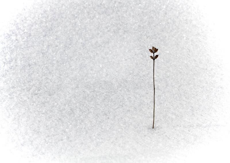 Fiore asciutto su neve fotografie stock libere da diritti
