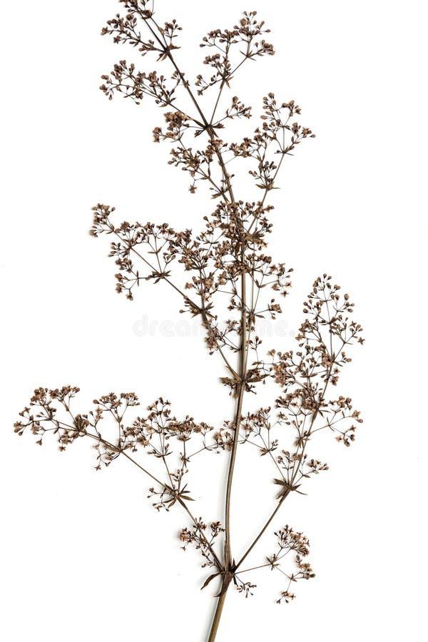 Fiore asciutto su un bianco immagini stock libere da diritti
