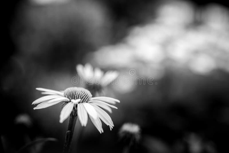 Fiore astratto in bianco e nero sul fondo vago scuro della natura del fogliame Concetto delicato e drammatico dei fiori della nat immagine stock libera da diritti