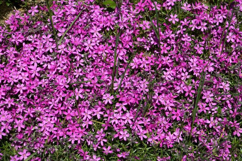 Fiore Aubrieta fotografia stock