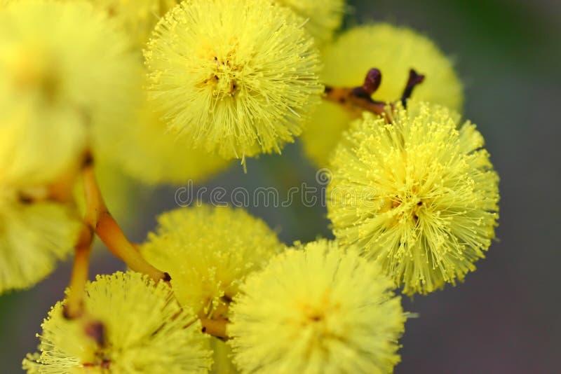 Fiore australiano dell'acacia fotografia stock libera da diritti