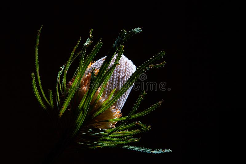 Fiore australiano di Banksia fotografia stock libera da diritti