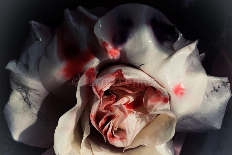 Fiore bagnato insanguinato di una rosa d'appassimento di bianco fotografia stock libera da diritti