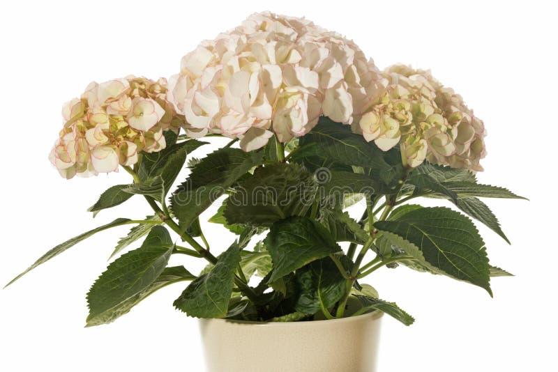 Fiore beige dell'ortensia fotografie stock libere da diritti