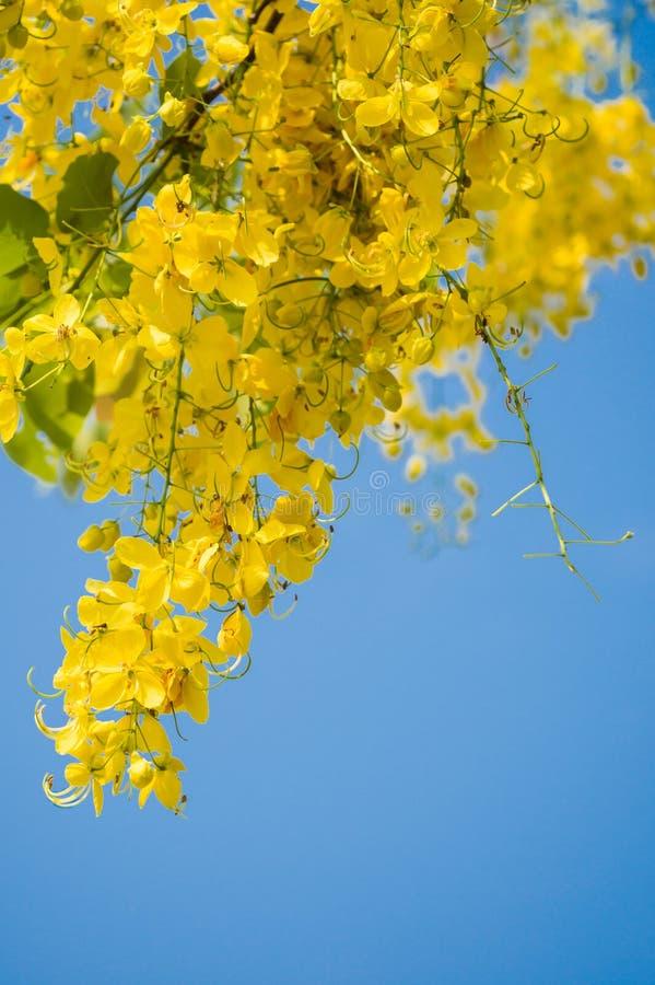 Fiore bello di fioritura della doccia dorata con chiaro cielo blu ( fotografie stock