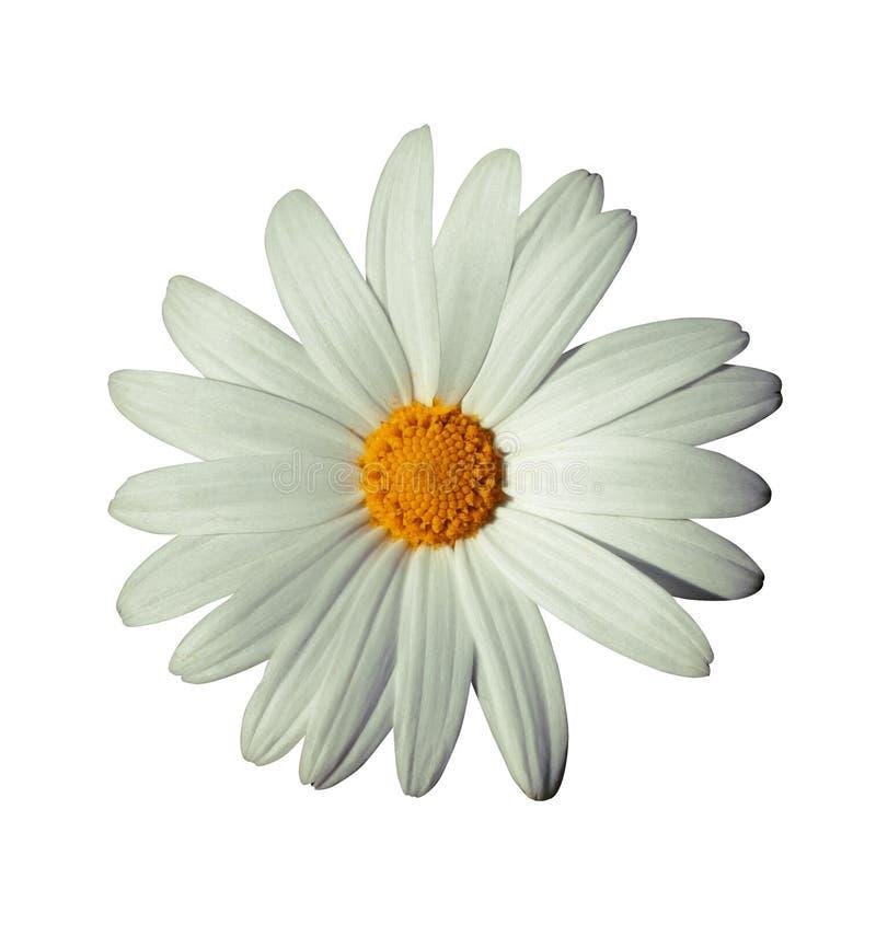 Fiore bianco fotografie stock libere da diritti