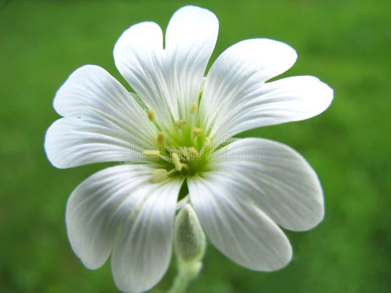 Fiore bianco. immagini stock