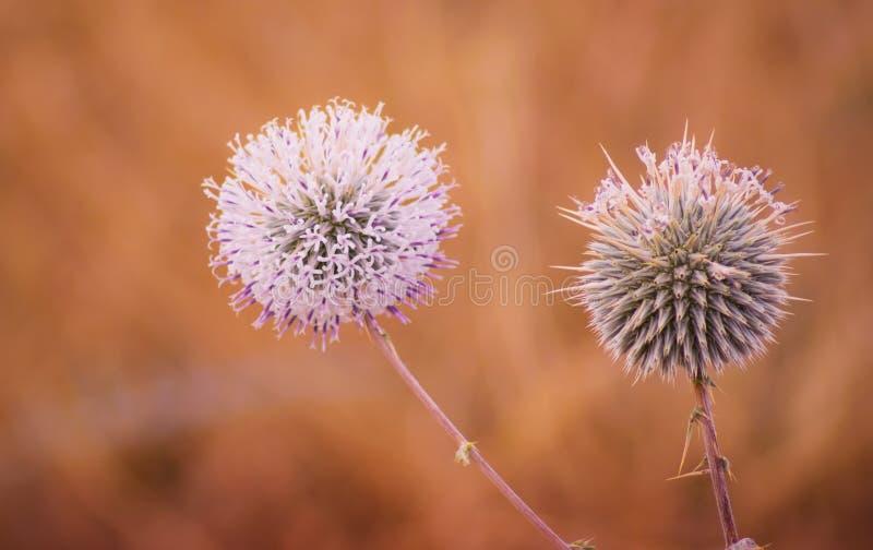 Fiore bianco & blu di forma rotonda in un parco immagine stock